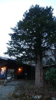 いちい樹齢100年.jpg